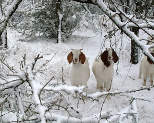 Goats in Snow!