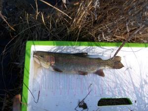 Rainbow trout in Fredericksburg, TX
