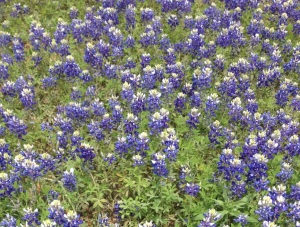bluebonnet blog