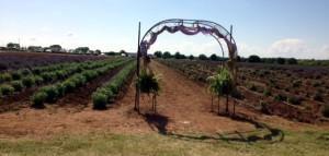 LavendarBlog Field