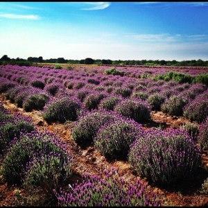 LavenderBlog Field2